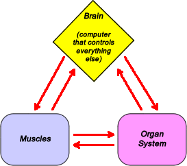 Image of brain communicating back and forth with muscles and associated organ system